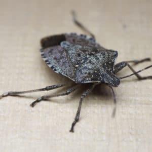 stink-bug 3