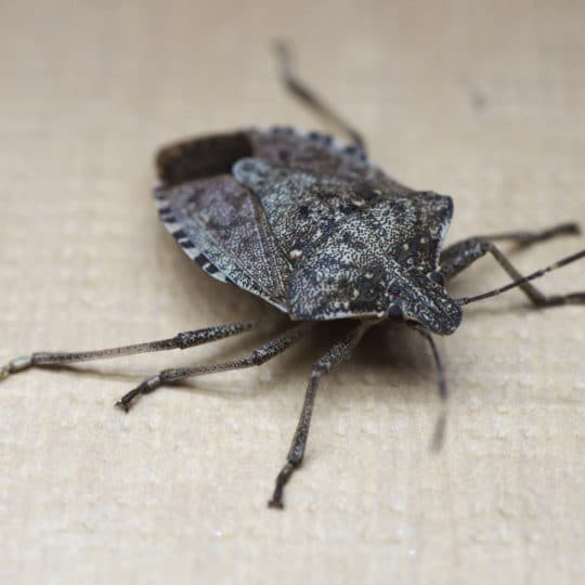 Do Stink Bugs Bite? And Other Common Questions