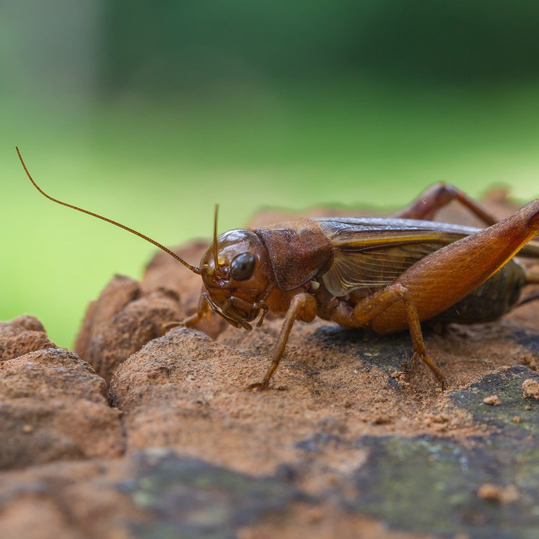 Crickets In Home Cricket Removal Philadelphia Pa