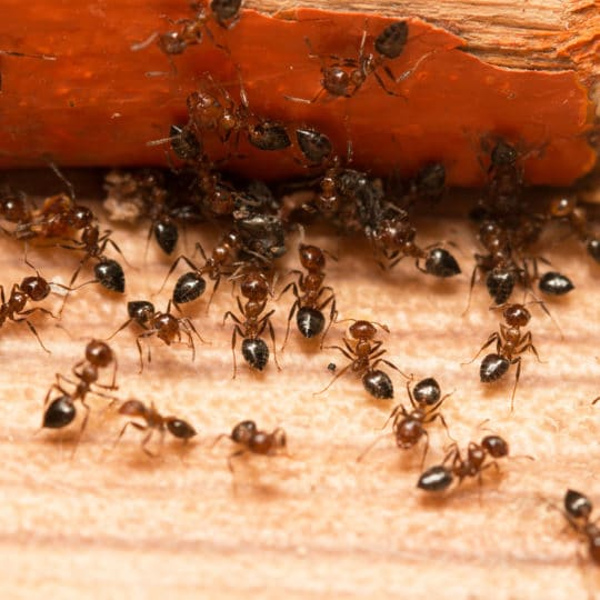 How to Make Your Own Ant Spray