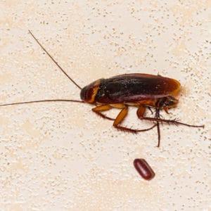cockroach-egg