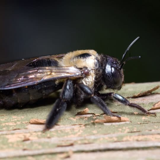 How to Make a Homemade Carpenter Bee Spray