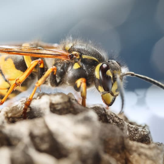 Fascinating facts about wasps