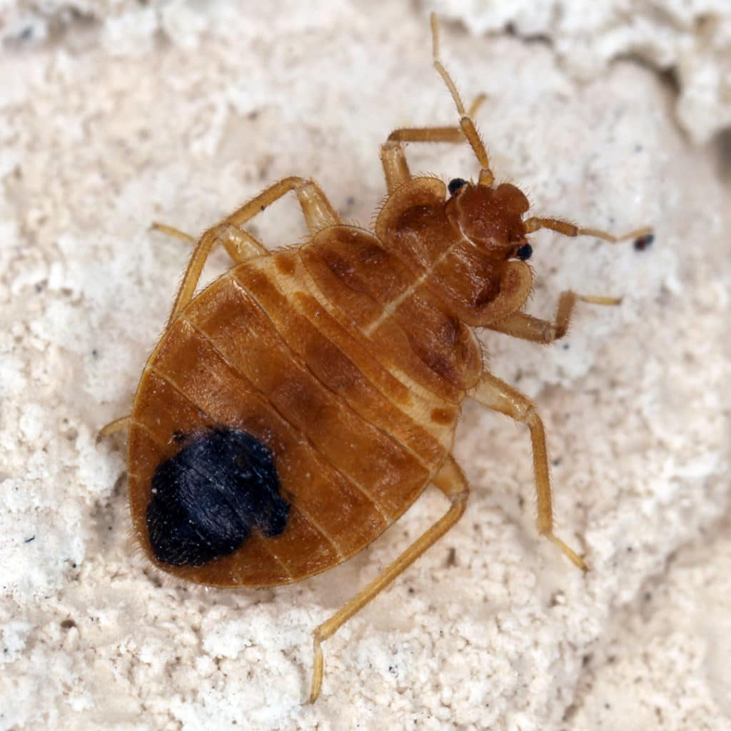 Can Bed Bugs bite through clothes?