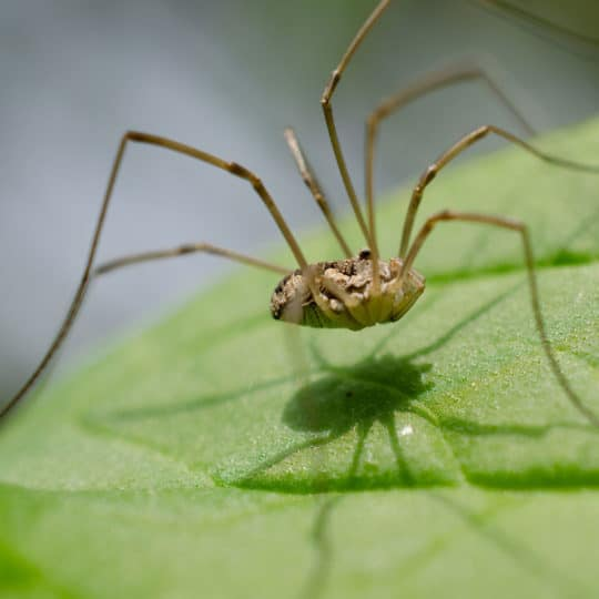 Do Daddy Long Legs Bite? And Other Frequently Asked Questions