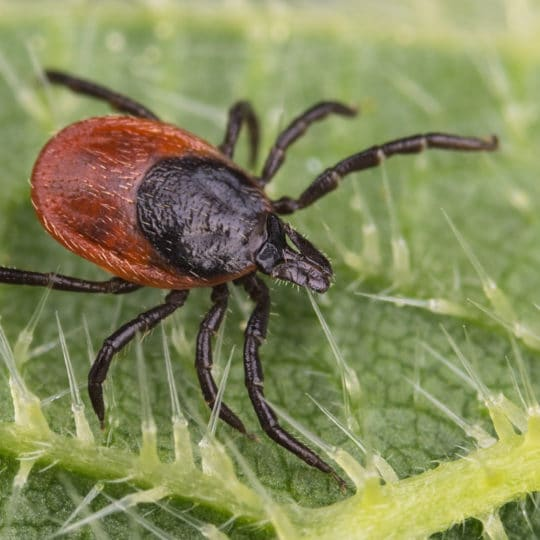 Do Ticks Jump?