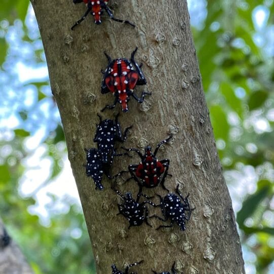 Steps to Take to Get Rid of Spotted Lanternflies