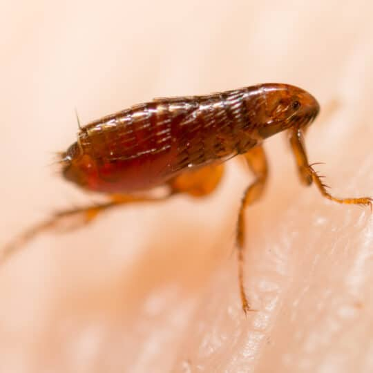 Does Hot Water Kill Fleas?