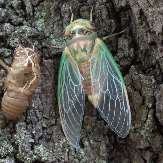Cicadas 2021 Pennsylvania, NJ, and DE